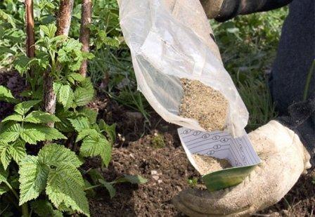 Выращивание малины в открытом грунте