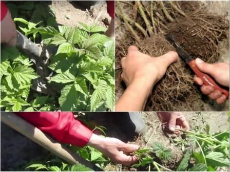 Малина сорта бархатная выращивание