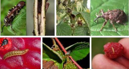 Малина: вредители и болезни