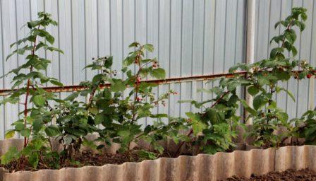 Посадка ремонтантной малины весной в сибири