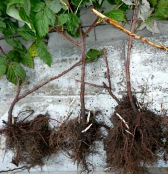 Как правильно садить весной ремонтантную малину