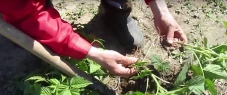 Мазмножение малины зелеными черенками