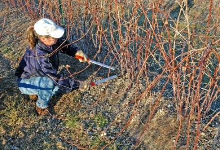Как правильно посадить малину весной в сибири