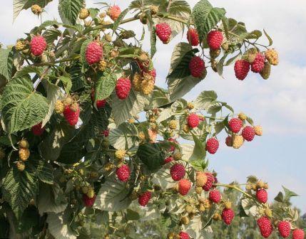 Сладкие сорта малины для подмосковья