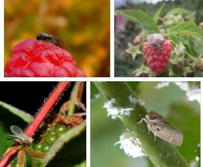 Урожайность малины таганка