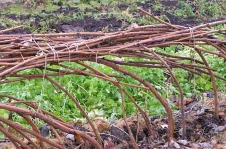 Малина ремонтантная таганка: выращивание