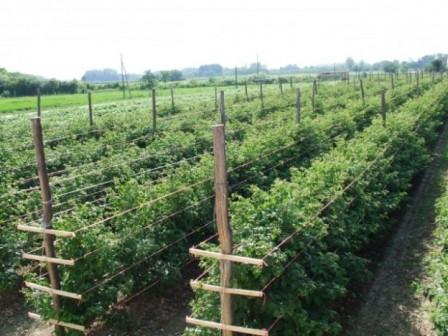 Малина маравилла урожайность