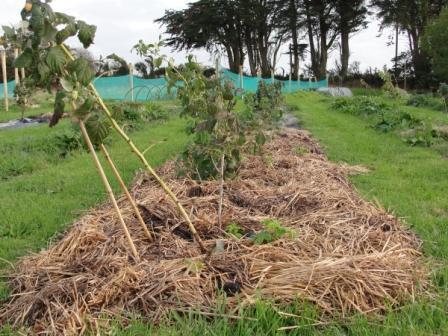 Выращивание малины маравилла