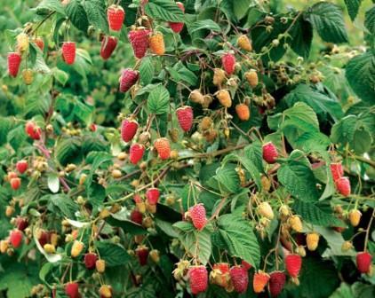 Малиновое дерево сорт сказка
