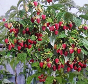 Изгородь из кустов малины