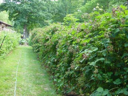 Изгородь из малины