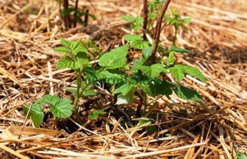 Ремонтантная малина выращивание и уход весной