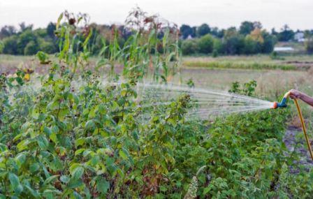 Малина солнышко: выращивание