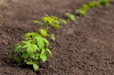 Малина осеннее блаженство выращивание