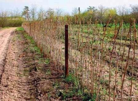 Малина геракл выращивание