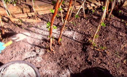 Ремонтантная малина сорта геракл