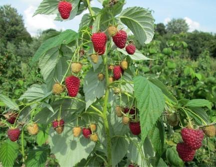 Урожайность малины зюгана