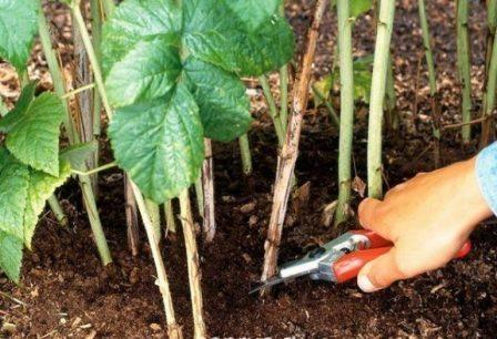 Сорт малины глен кое: обрезка и уход
