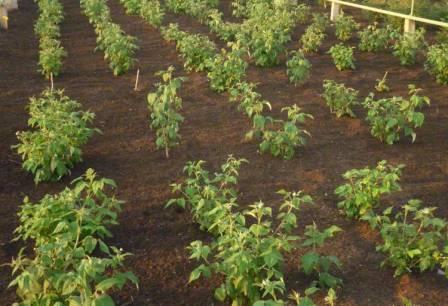 Малина сорт октавия выращивание и преимущества