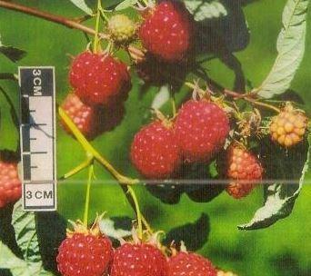 Малина особенности выращивания и ухода
