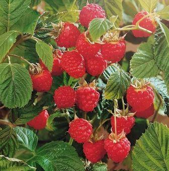 сорта малины для Восточной Сибири
