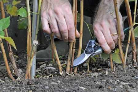 Как лучше обрезать малину весной