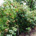 Правила обрезки малины весной