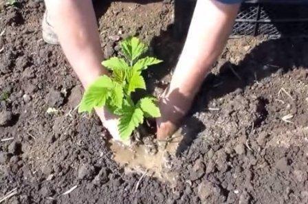 Когда лучше сажать малину весной или осенью