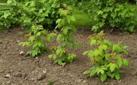 Когда можно сажать малину весной в открытый грунт
