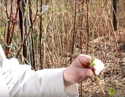 Как правильно обрезать малину весной если не обрезали осенью