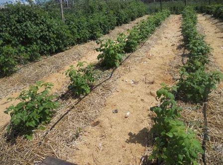 Малина татьяна: выращивание и уход