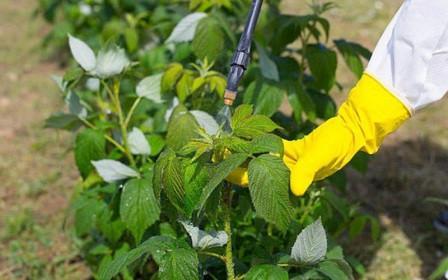 Обработка малины весной от болезней и вредителей мочевиной