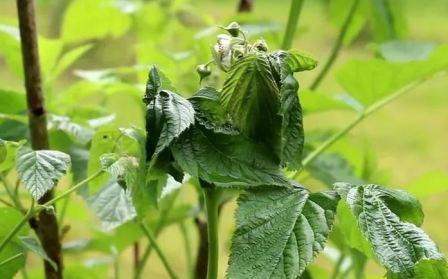 Опрыскивание малины весной от болезней и вредителей