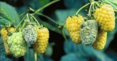 Чем обработать малину весной от вредителей