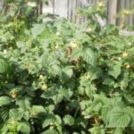 Сорт малины Утренняя Роса описание и фото