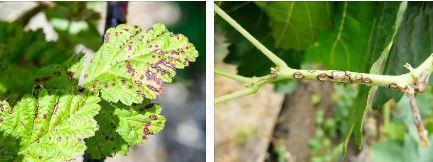 Обработка малины весной от болезней в Сибири