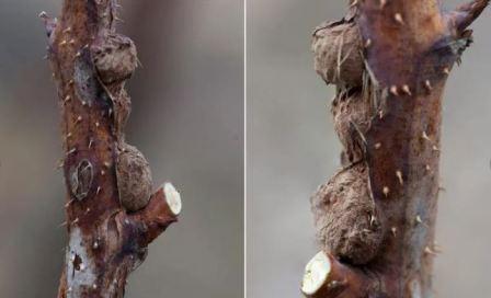 Болезни малины в Сибири: описание