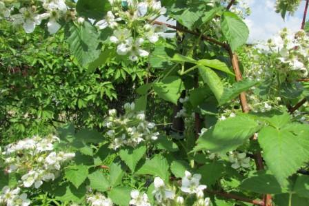 Когда подкармливать малину весной и чем