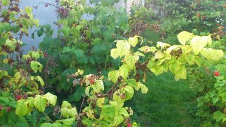 Почему желтеет малина весной и как с этим бороться