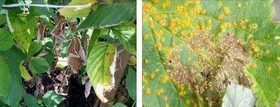 Почему желтеет малина весной что делать
