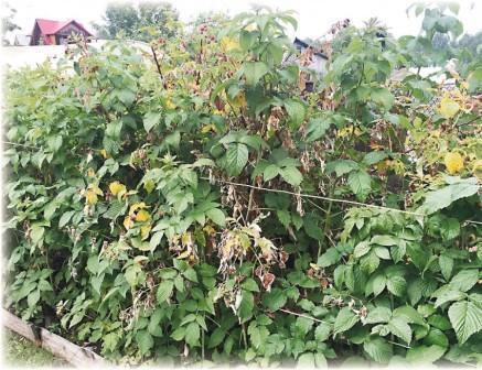 Удобрение для малины весной если желтеют листья