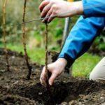 Как сажать малину весной пошаговая инструкция для начинающих