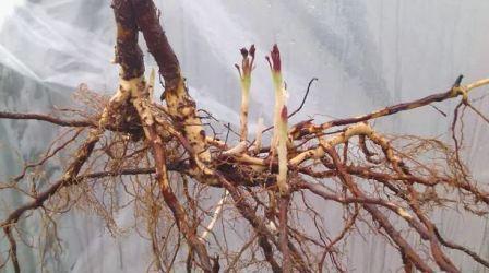 Посадка и размножение черной малины ремонтантной