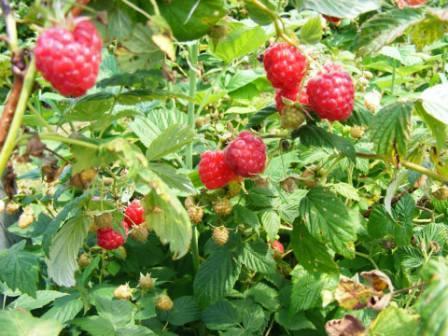 Малина: сорта выращивание