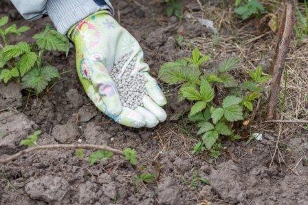 Малина: уход и выращивание советы