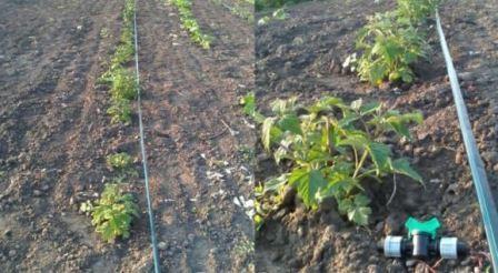 Условия выращивания малины