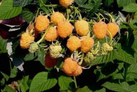 Схема посадки малины в открытом грунте