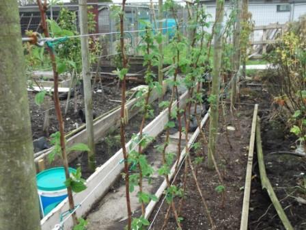 Малина садовая посадка и уход в открытом грунте