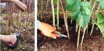Посадка ремонтантной малины в траншею осенью