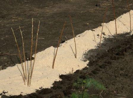 Малина дерево: уход и размножение
